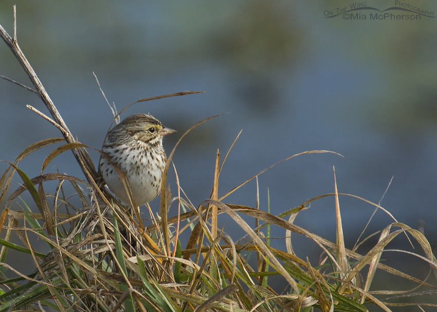 Savannah Sparrow at the Celery Fields