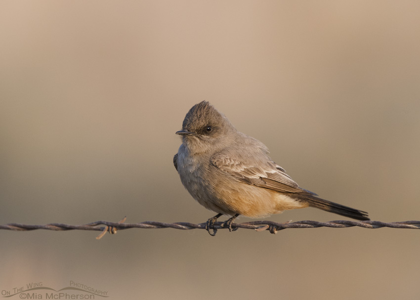 A Say's Phoebe in soft morning light
