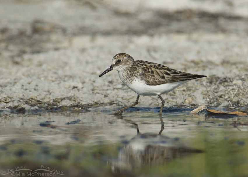 A Semipalmated Sandpiper foraging in a tidal lagoon
