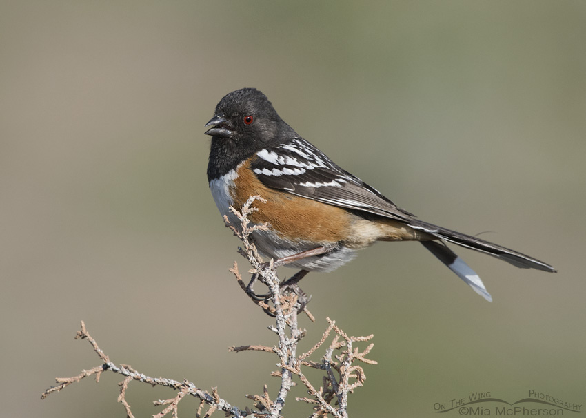 A Spotted Towhee male singing on its territory
