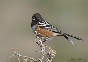 Spotted Towhee Images