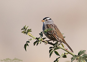White-crowned Sparrow Images
