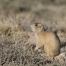 White-tailed Prairie Dog in evening light