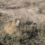 White-tailed Prairie Dog nibbling on food