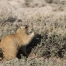 White-tailed Prairie Dog eating