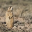 White-tailed Prairie Dog on alert