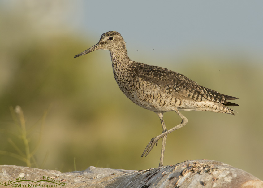 Western Willet in morning light