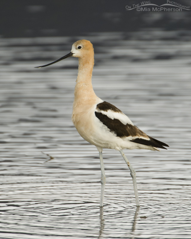American Avocet, low light