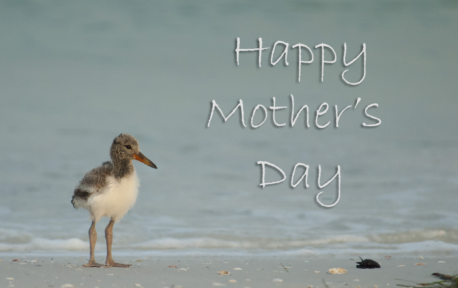 American Oystercatcher chick