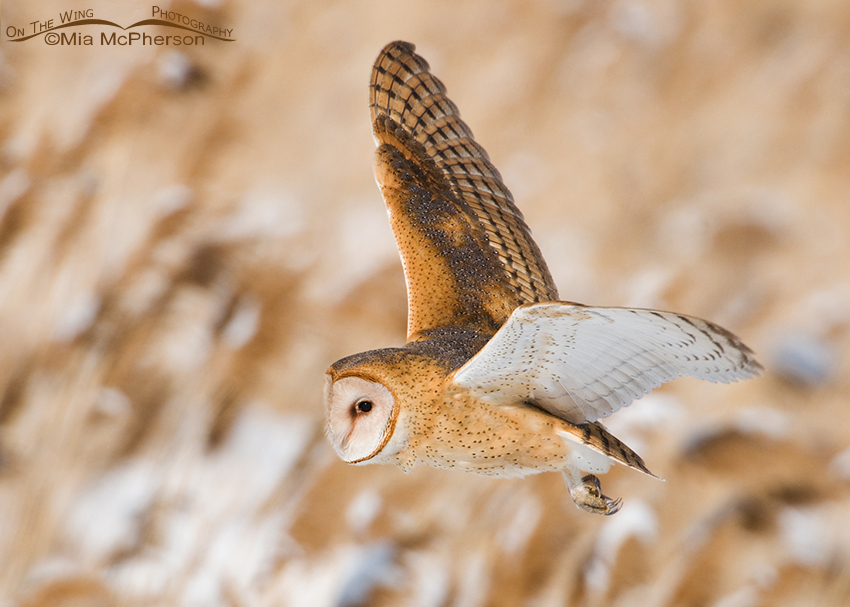 Barn Owl flying over a marsh in winter
