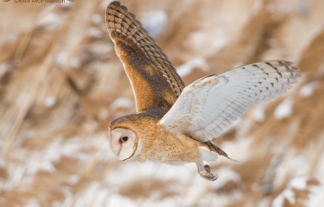 Barn Owl flying over a snowy wetland