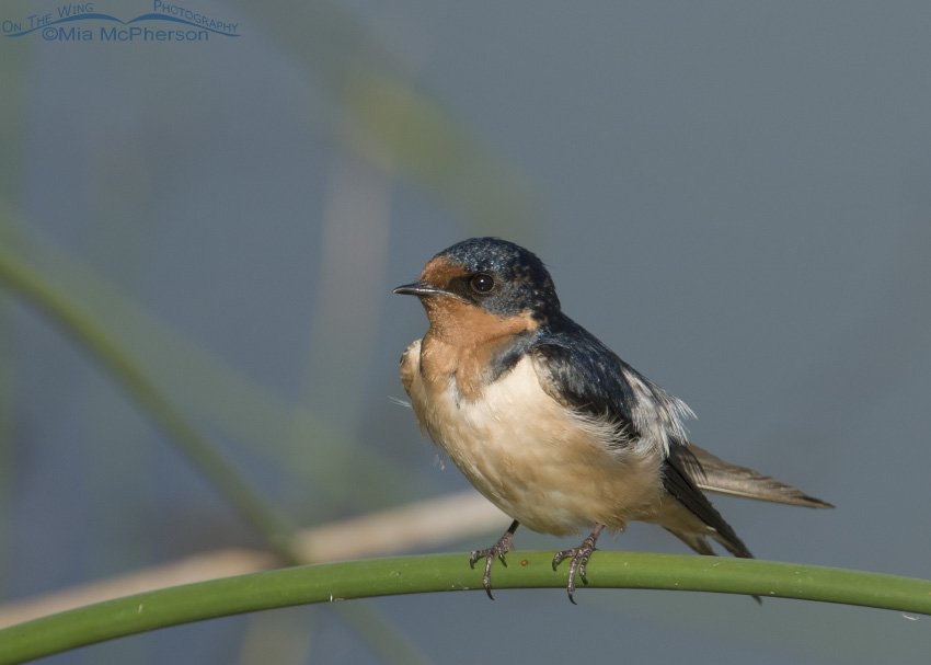 Barn Swallow on a curved perch