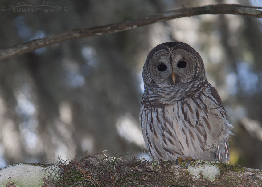 A Barred Owl, Spanish Moss and Dappled Light