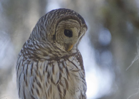 Barred Owl Images