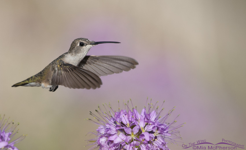 Female Black-chinned Hummingbird hovering over flowers