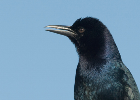 Boat-tailed Grackle Images