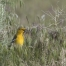 Bullock's Oriole foraging in grasses