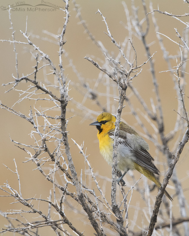 Bullock's Oriole perched on a dead Greasewood