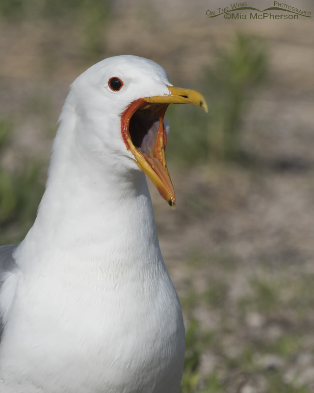 A California Gull with its bill open