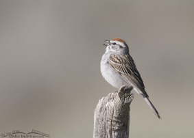Chipping Sparrow Images