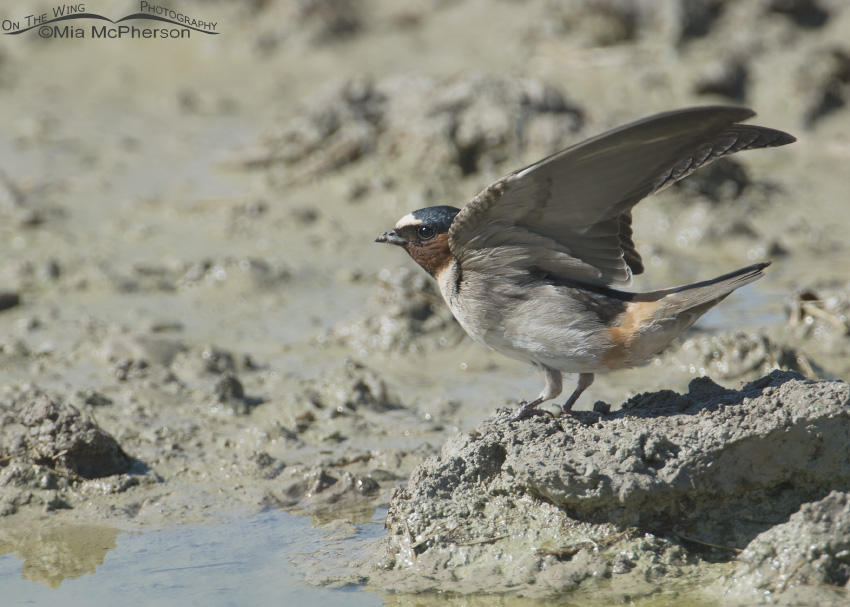 Cliff Swallow at mud puddle