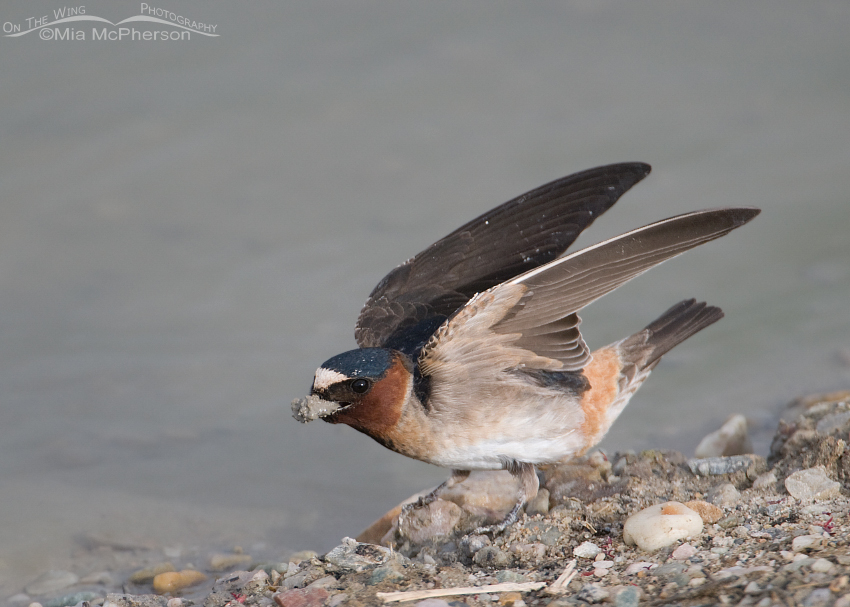Cliff Swallow collecting mud for its nest