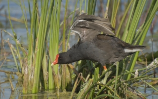 Common Gallinule wing lift
