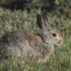 Desert Cottontail nibbling on dew laden grass