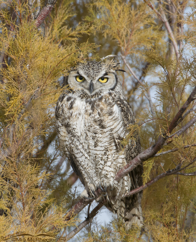 Great Horned Owl in Tamarisk looking right at me