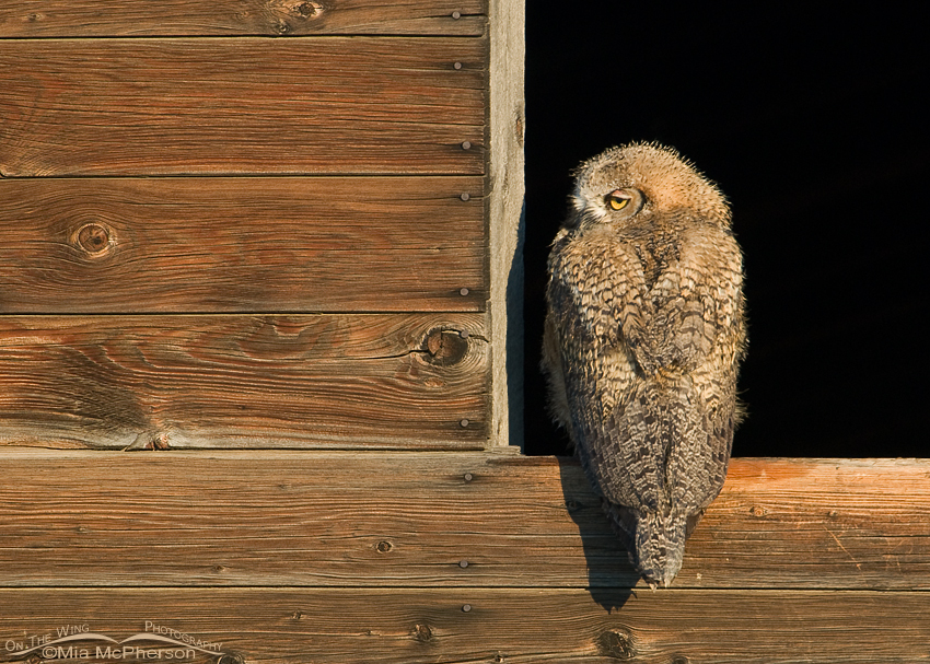 A damp fledgling Great Horned Owl in a granary window