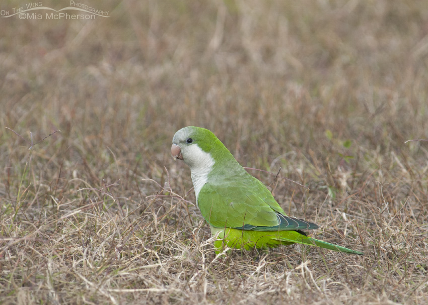 A Monk Parakeet in grasses