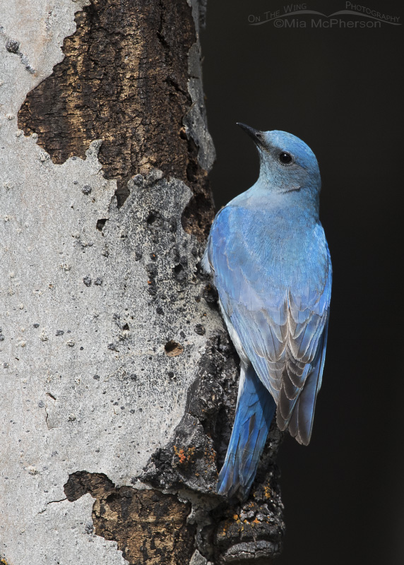 Mountain Bluebird Images