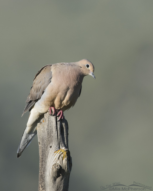 A Mourning Dove in morning light