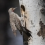 Northern Flicker male at the nesting cavity