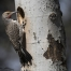 Close up of a male Northern Flicker and Aspen nesting tree