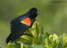 Red-winged Blackbird Images