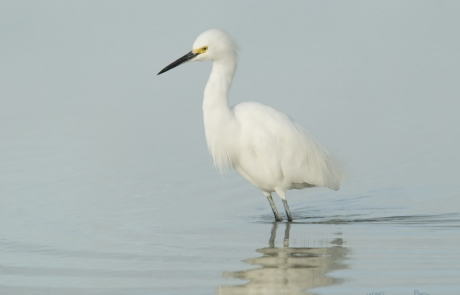 Snowy Egret in pastel water