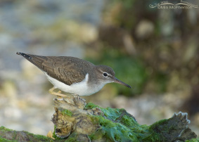 Spotted Sandpiper Images