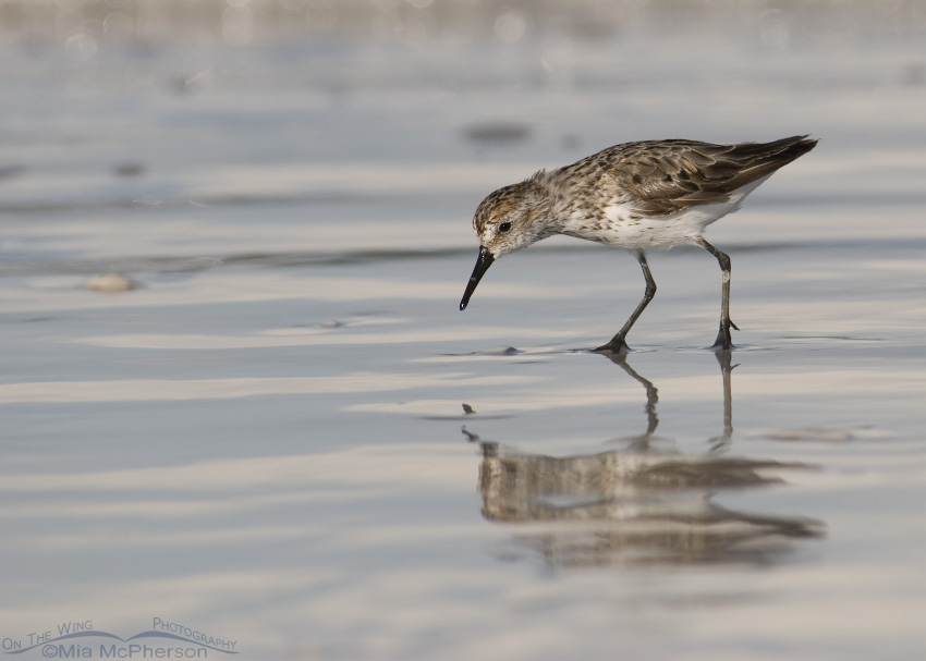 Western Sandpiper foraging on the north beach of Fort De Soto