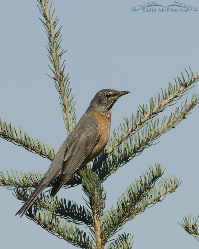 American Robin in Madison County, Montana