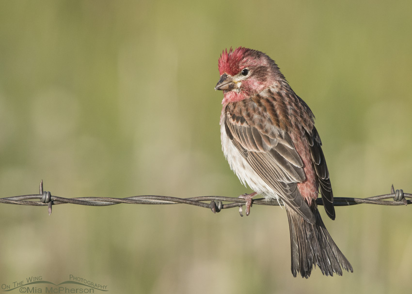 A Saucy looking male Cassin's Finch