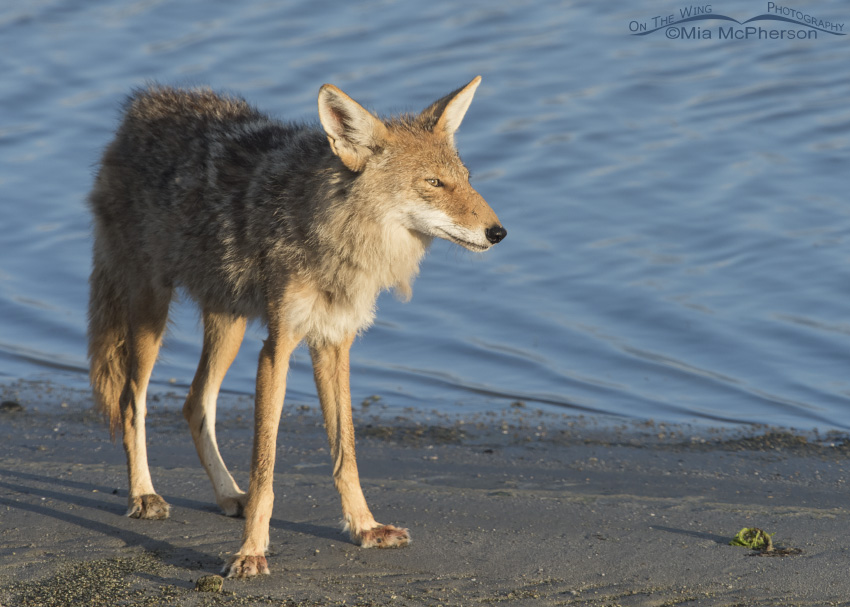 A Coyote with a healed injury