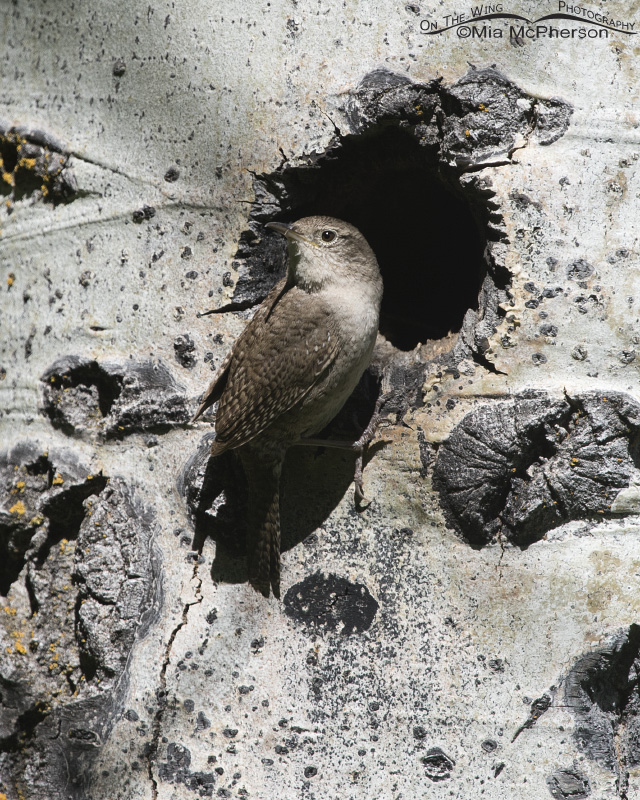 House Wren at its nesting cavity