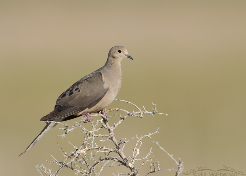 A Mourning Dove perched on a dying greasewood