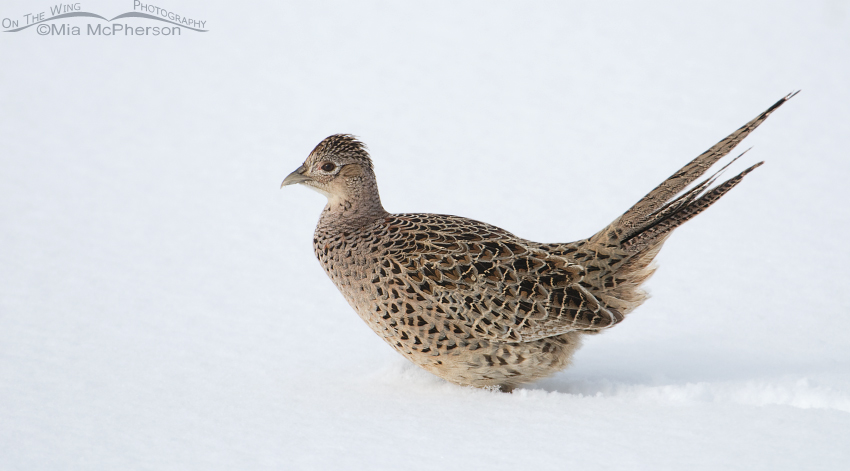 Ring-necked Pheasant female in snow