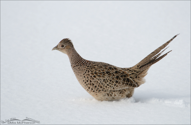 Ring-necked Pheasant hen walking through deep snow