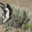 A Swainson's Hawk lifting off from a lichen covered boulder