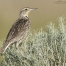 An alert young Western Meadowlark