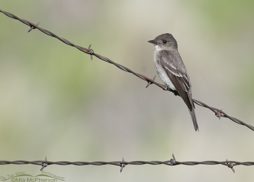 A Western Wood-Pewee and crossed wires