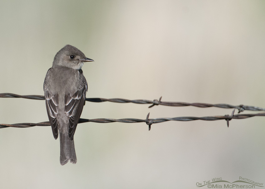 Back view of a Western Wood-Pewee